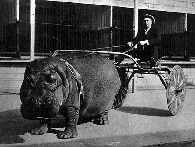 photos-historiques-incontournables-hippopotame-tire-une-charette-1924
