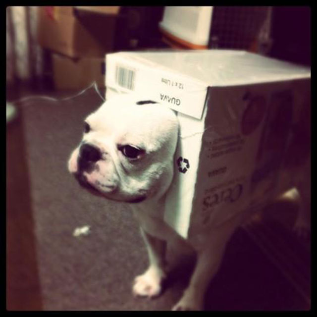 Bulldog_in_box_funny_picture